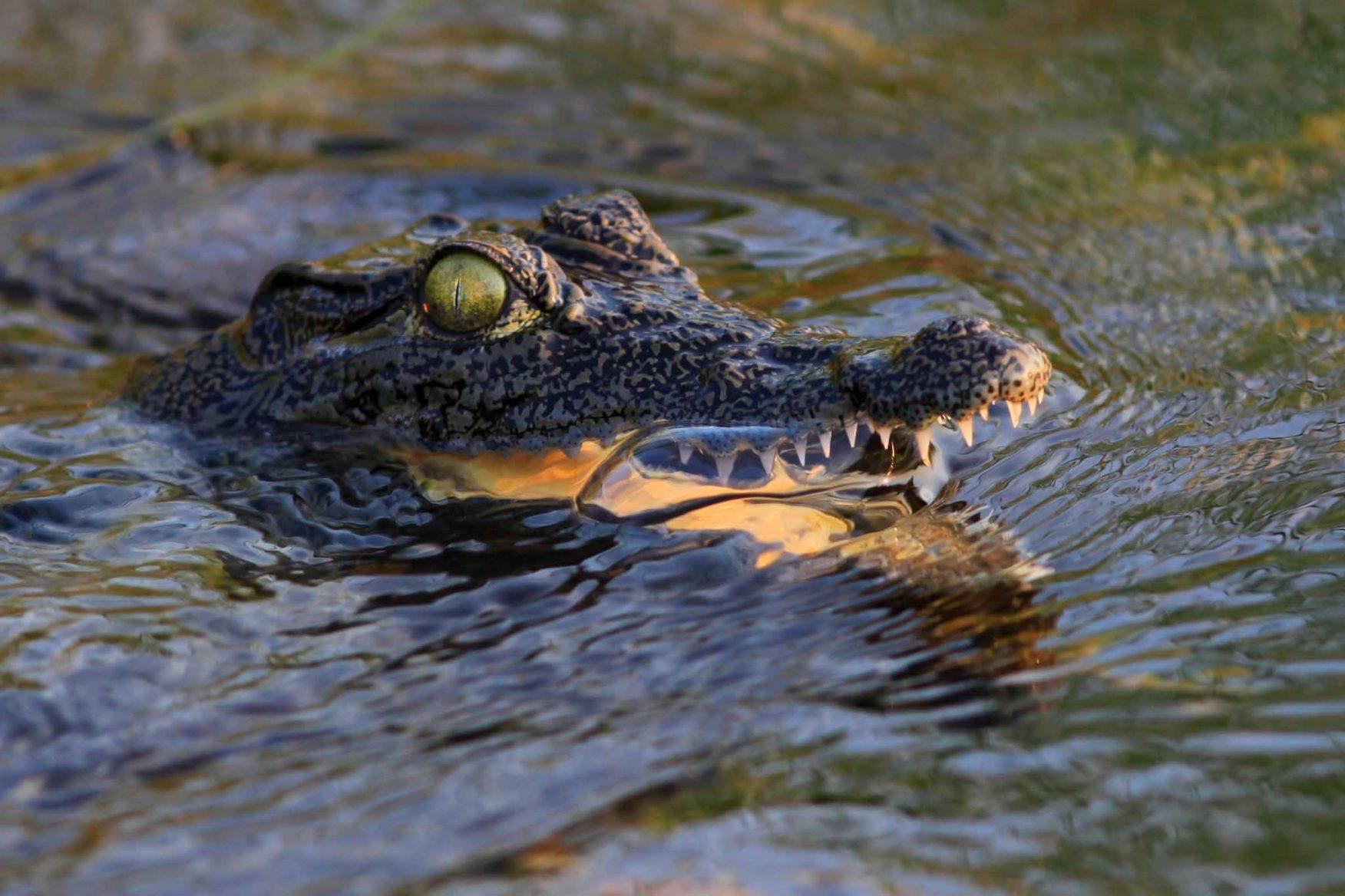 african-family-safari-aligator