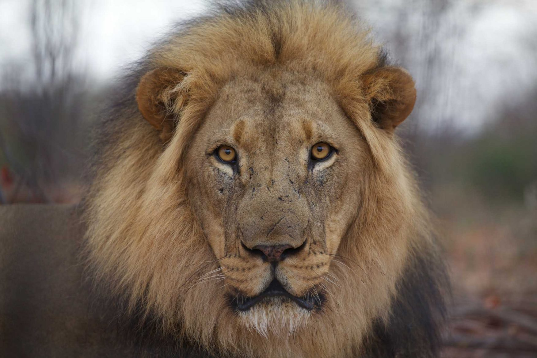 african-family-safari-blackmaned-lion