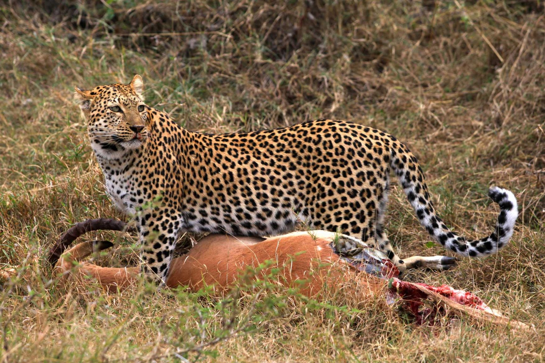 african-family-safari-leopard