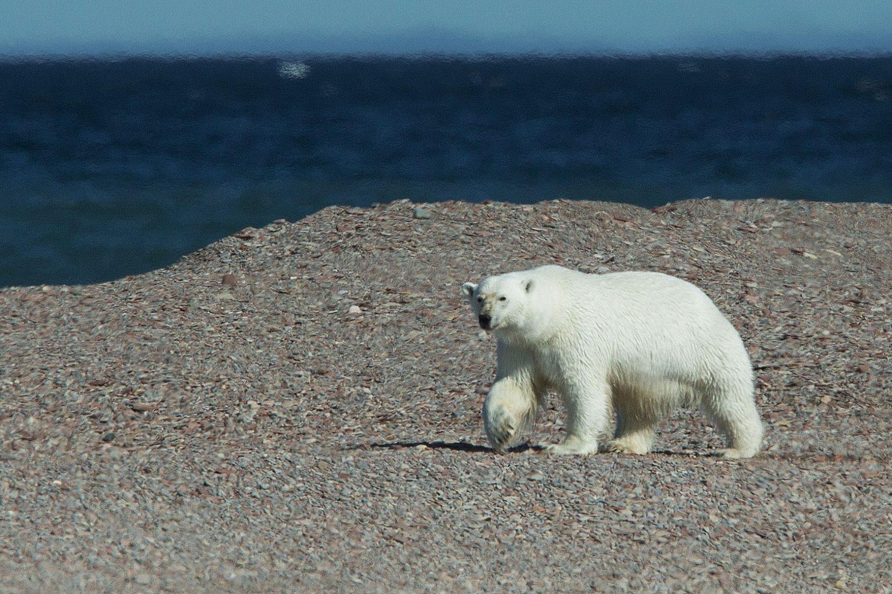 canada-nunavut-polar-bear