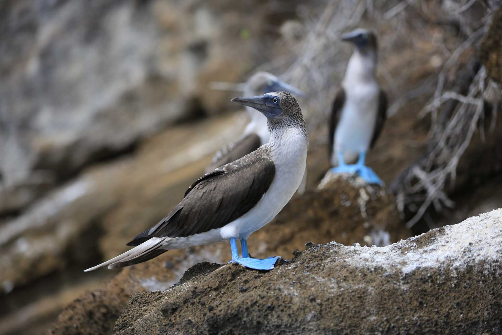 galapagos-adventure-blue-footed-booby