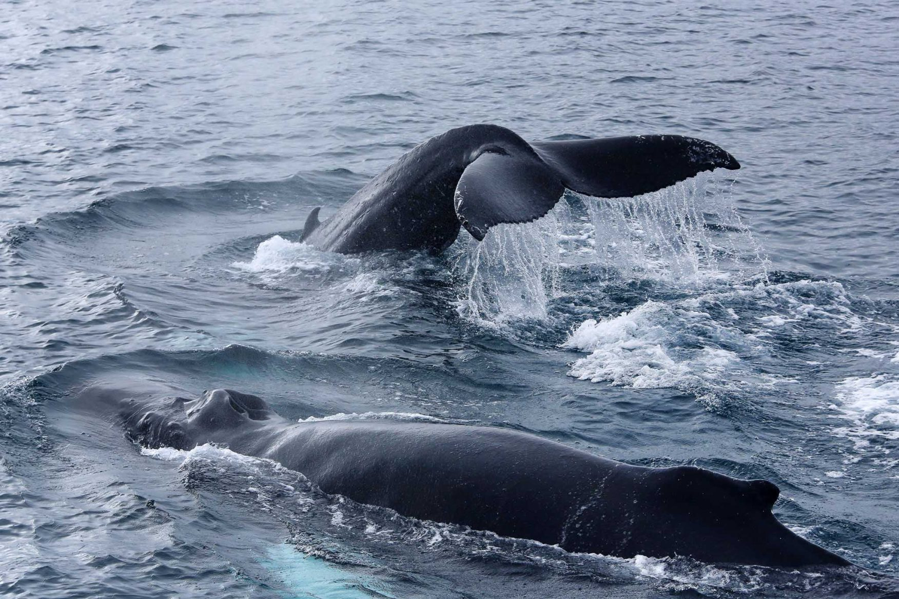 iceland-whales