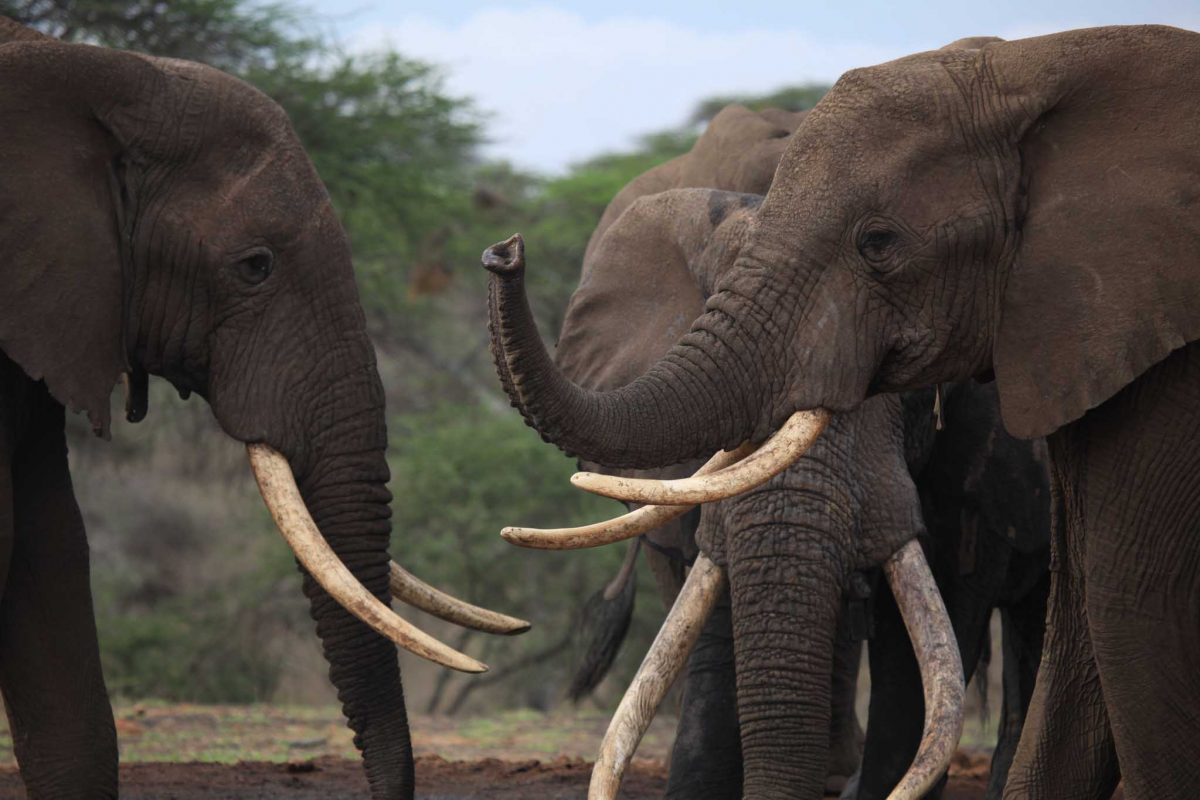 Three elephants interacting with their trunks