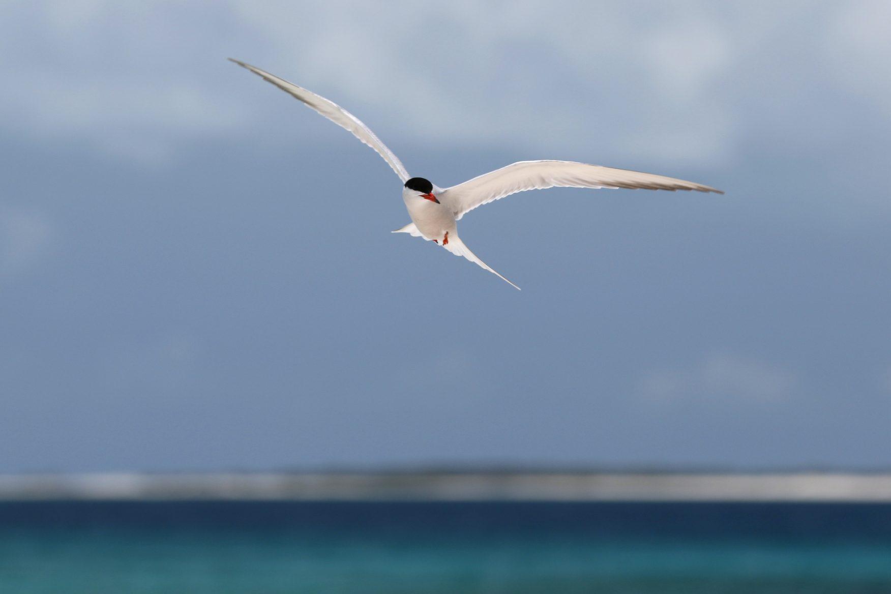 tern-great1